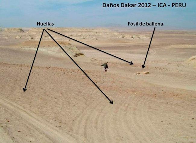 Fotografía cedida por la Asociación Museo Paleontológico Meyer Hönninger, donde se observan fósiles dañados por el paso del Dakar en el desierto de Ica. EFE