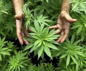 El cannabis ayuda a combatir efectos del estrés postraumático