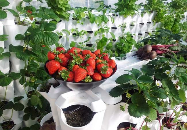 Lechugas y fresas cultivadas en la pared de casa
