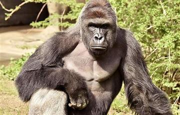 Harambe: Famosos protestan por gorila sacrificado en Cincinnati