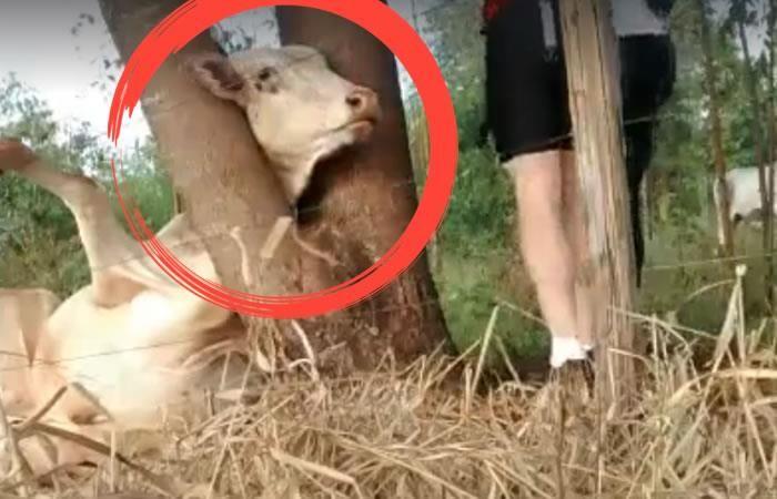 El vídeo viral de dos ciclistas rescatando a un ternero que ha conmovido al mundo