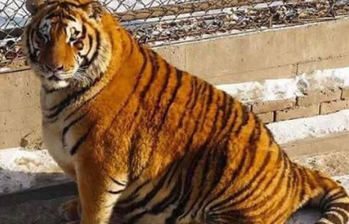 China: Tigres obesos revolucionan la red
