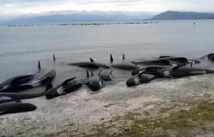 Nueva Zelanda: Encuentran 300 ballenas muertas