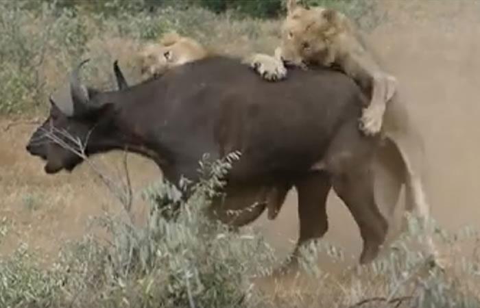 Viral: Dos leones atacan un búfalo y pasa lo inesperado