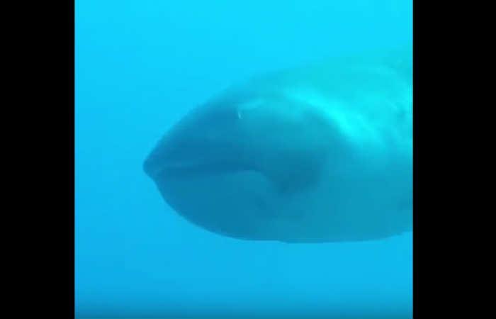 Video: El tiburón más raro del mundo