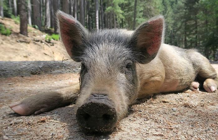 Cerdos podrían ser los nuevos donantes de órganos para humanos