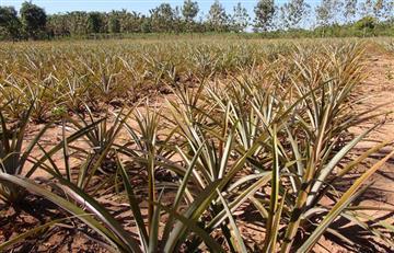 Producción de piña en incremento y con buena salud