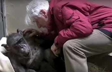 Chimpancé moribunda reconoce a viejo amigo y conmueve las redes sociales