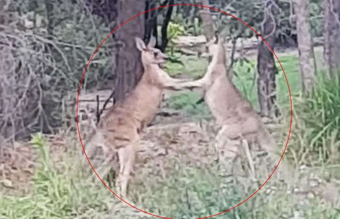 Hombre interviene para separar a estos dos 'canguros boxeadores'