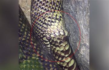 Video: Una serpiente tragándose a sí misma desconcierta en las redes sociales