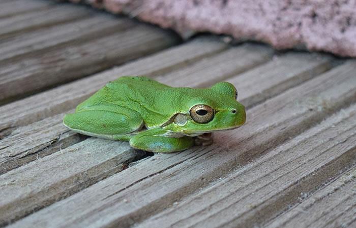 Perú: Descubren nuevas especies de rana