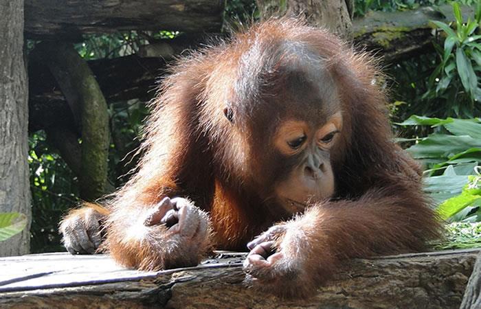 Video: Orangután que fuma en un zoológico causa indignación mundial