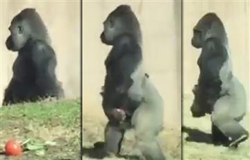 Gorila camina como un humano por una curiosa razón