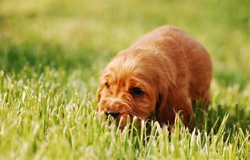 ¿Los perros se pueden desparasitar con el pasto?