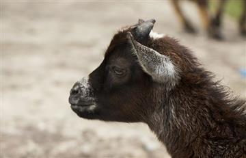 Video: La cabra 'drogadicta' que comenzó una nueva vida