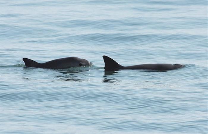 La vaquita marina, otra especie en peligro de extinción