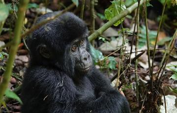 Existen más gorilas de África occidental de lo que se creía