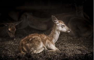 Este es el primer caso de un ciervo con dos cabezas