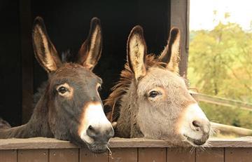 Roban burros en África para producir gelatina