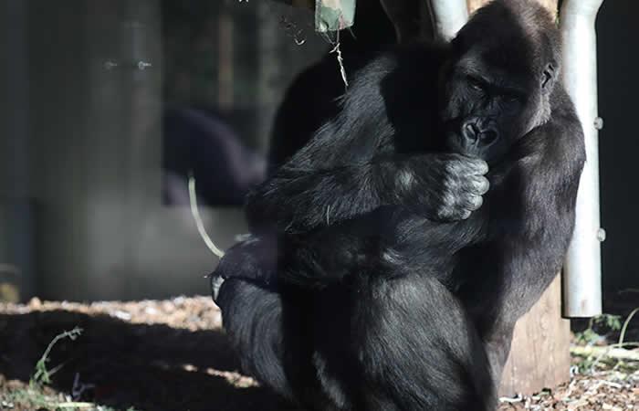 Murió Koko, la gorila que dominaba el lenguaje de signos. Foto: AFP