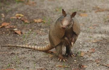 Más de la mitad de los armadillos en la Amazonía brasileña porta la lepra