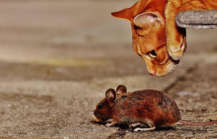 Una proteína específica es la que le da esta reacción a los ratones. Foto: Pixabay.