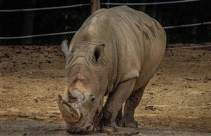 Crean plan para evitar la extinción del rinoceronte blanco del norte. Foto: Pixabay.