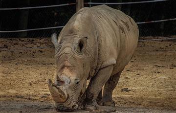 Crean embriones sintéticos para salvar al rinoceronte blanco