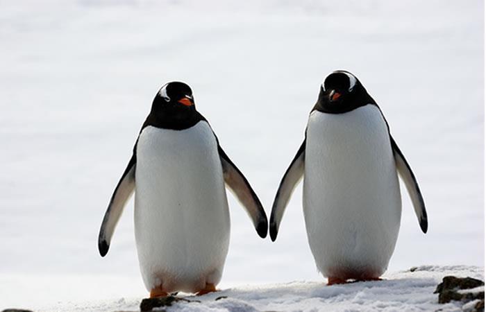 Conoce algunos datos curiosos de los pingüinos. Foto: Shutterstock