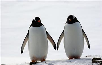 Video: Pingüinos protagonizan conmovedora escena mientras van 'de la mano'
