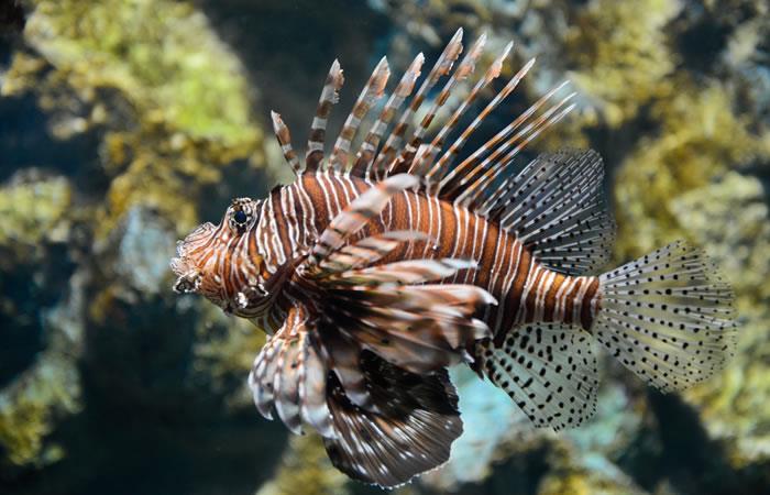Veneno del pez león disminuiría células cancerígenas: Foto: Shutterstock