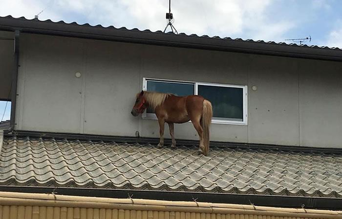 Leaf, la pony que se trepó a un techo para salvarse. Foto: AFP