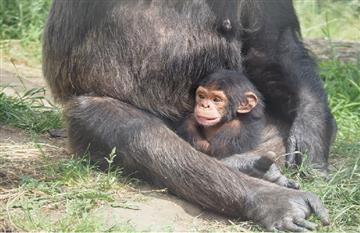 Video: Conmovedora escena de un chimpancé jugando al 'avioncito' con una cría