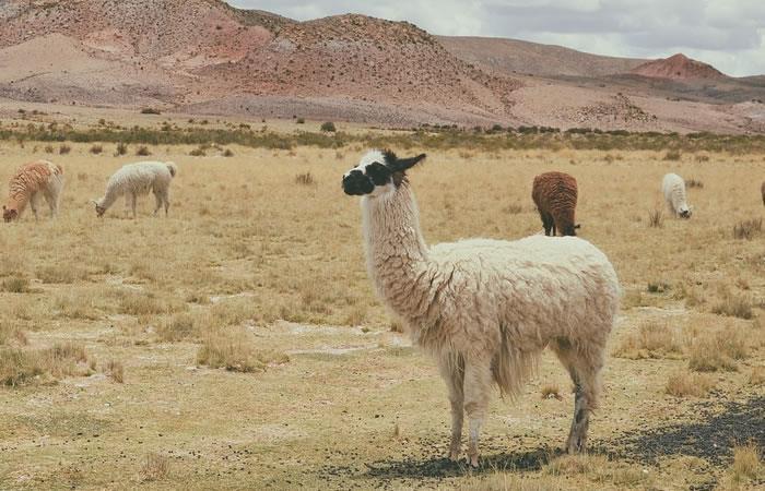 La carne de llama se comercializa en Tarija. Foto: Pixabay