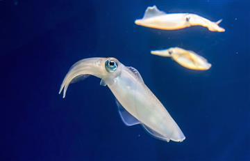 Encuentran un calamar gigante en Nueva Zelanda