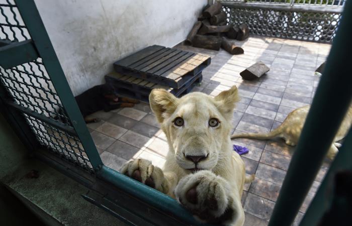 Ciudad de México: Rugidos de leones causan pánico en un barrio de la capital mexicana
