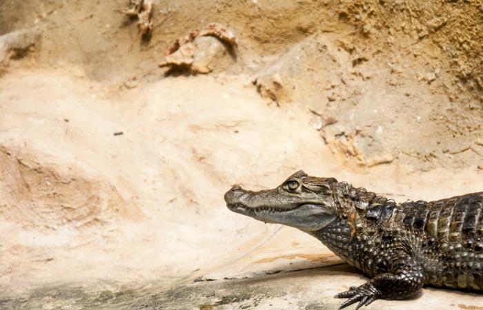 Carne de lagarto: una salvación para los indígenas en el país