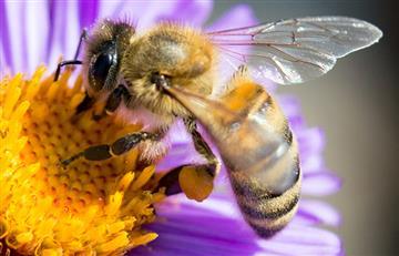Preocupa la desaparición de las abejas en Bolivia