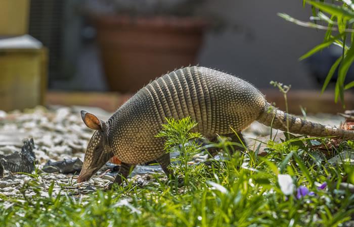 Gobernación decomisa carne de tatú en las Cabañas del río Piraí