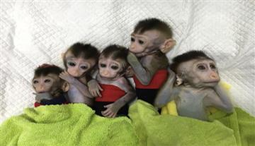 ¡Primera vez que clonan varios monos con genes modificados!