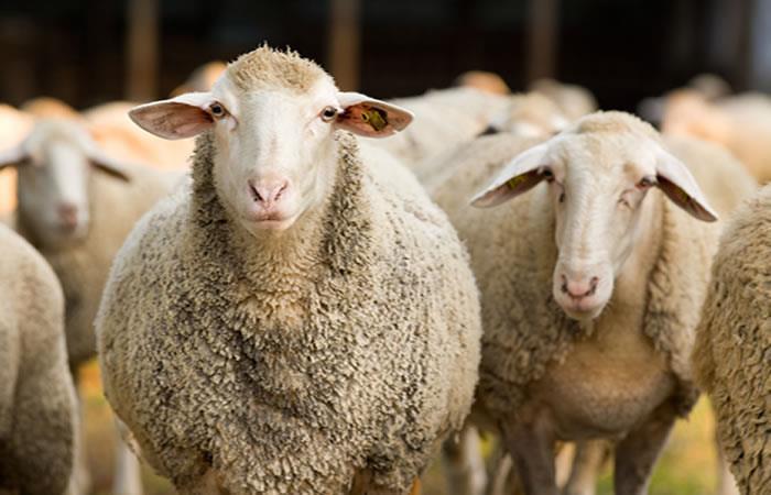 Centro de Mejoramiento Genético de Ovinos en Toledo: Lo que debes saber