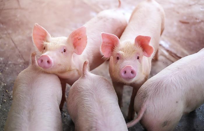 El cerdo se toma el Horóscopo Chino y esta es la razón