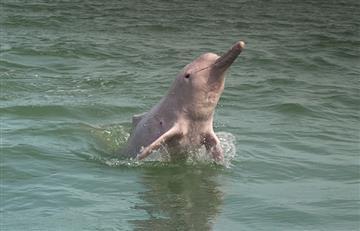 ¡Lamentable! La única especie de delfin en Bolivia se encuentra en peligro de extinción