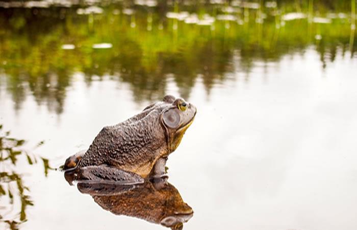 La esperada cita entre las dos especies de rana yuracaré no se cumplió
