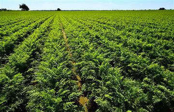 Oruro: Así planean potenciar la producción de zanahoria
