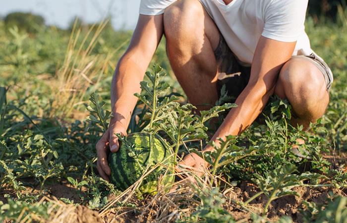 Sequía destruyó más de 64 hectáreas de sandía y tomate en Omereque