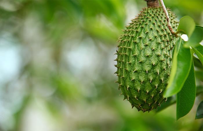 Son varios los beneficios de la guanábana para al salud. Foto: Shuttersock