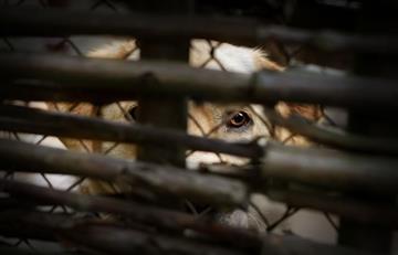 Decomisan 40 animales que se comercializaban en mercado de Oruro