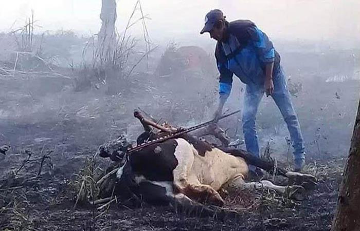 Las redes sociales han registrado el sufrimiento de los animales en la Chiquitania. Foto: Twitter
