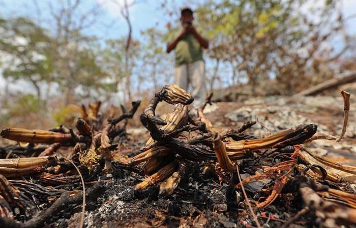 Las comunidades indígenas bolivianas buscan reponerse de los incendios ocasionados desde hace un mes. Foto: EFE.